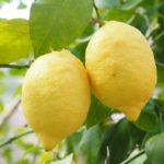 calories in lemon