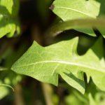 calories in dandelion leaves