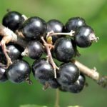 calories in blackcurrants