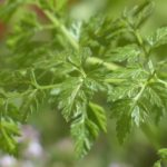 calories in chervil
