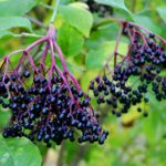 calories in elderberries