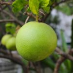 calories in pomelo