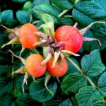 calories in rosehips