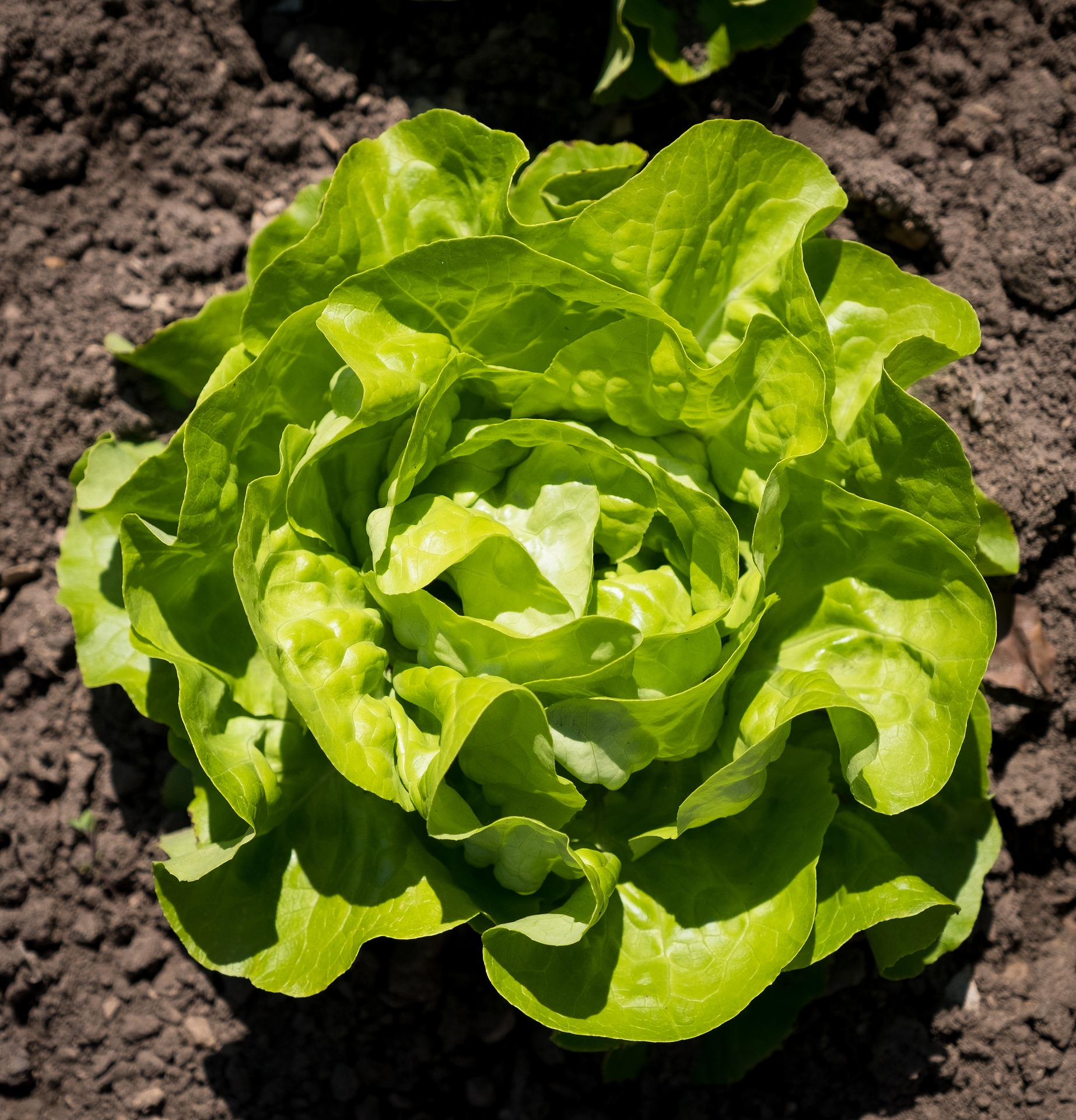 Basic Calories In Round Lettuce